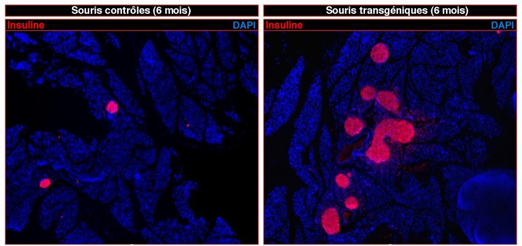 regeneration de cellules